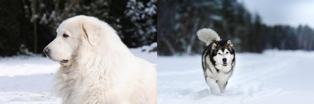 Great Pyrenees vs Siberian Husky