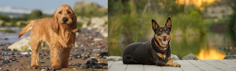 Griffon Fauve de Bretagne vs Australian Kelpie