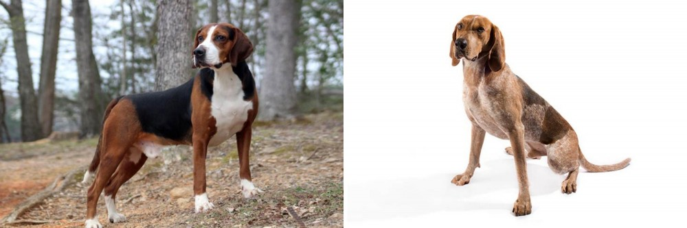 Hamiltonstovare vs English Coonhound