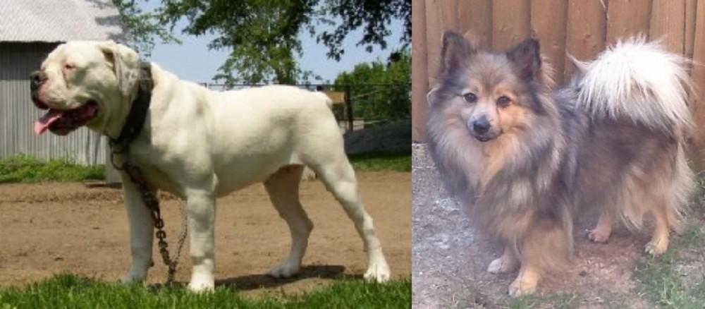 Hermes Bulldogge vs German Spitz (Mittel)