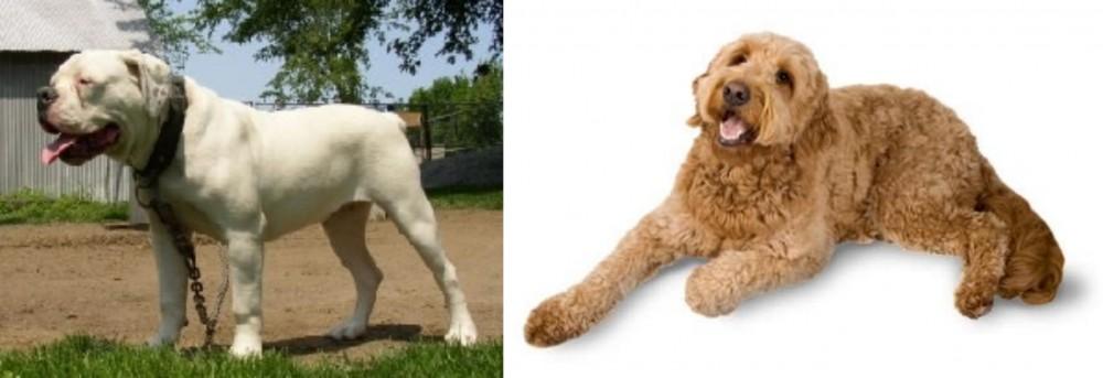 Hermes Bulldogge vs Golden Doodle