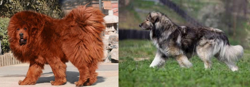 Himalayan Mastiff vs Carpatin