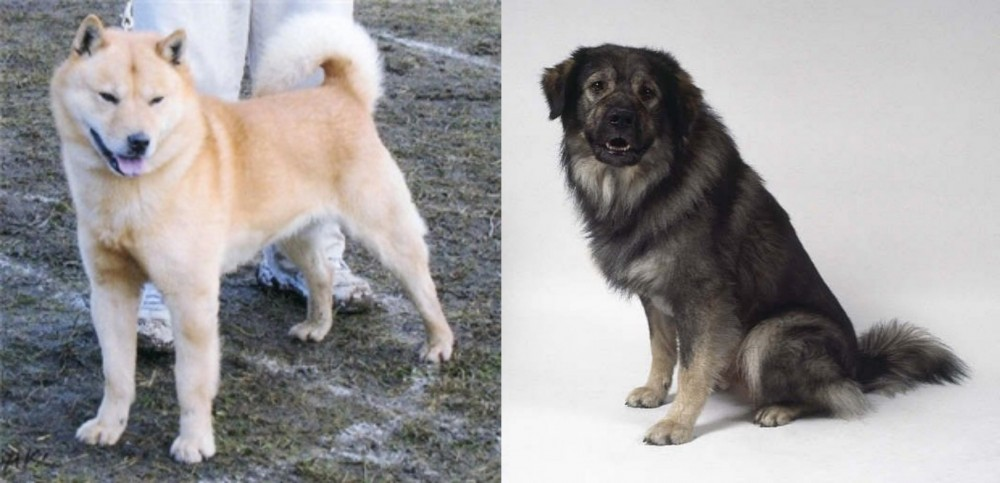 Hokkaido vs Istrian Sheepdog