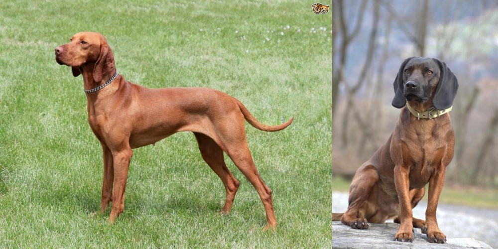 Hungarian Vizsla vs Bavarian Mountain Hound