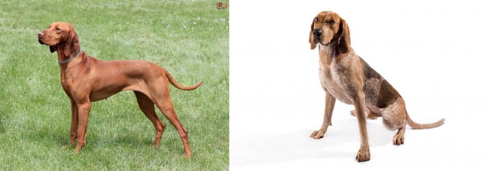 Hungarian Vizsla vs English Coonhound