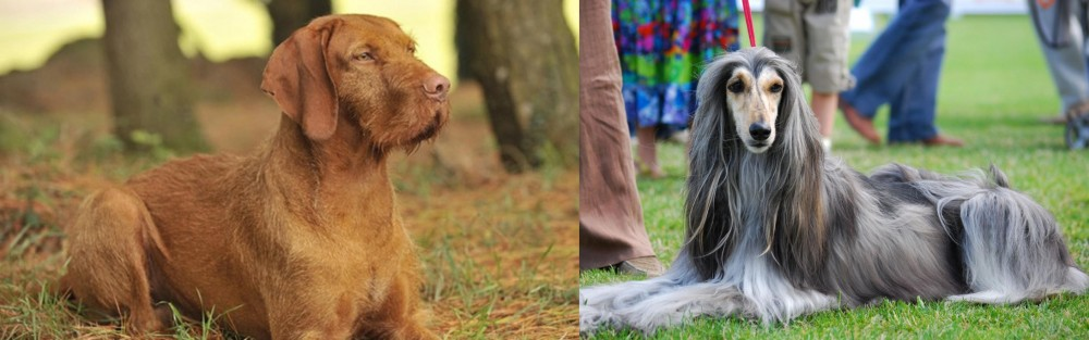 Hungarian Wirehaired Vizsla vs Afghan Hound