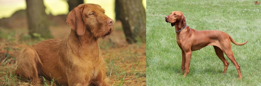 Hungarian Wirehaired Vizsla vs Hungarian Vizsla
