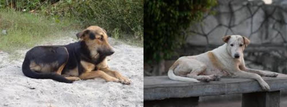 Indian Pariah Dog vs Askal