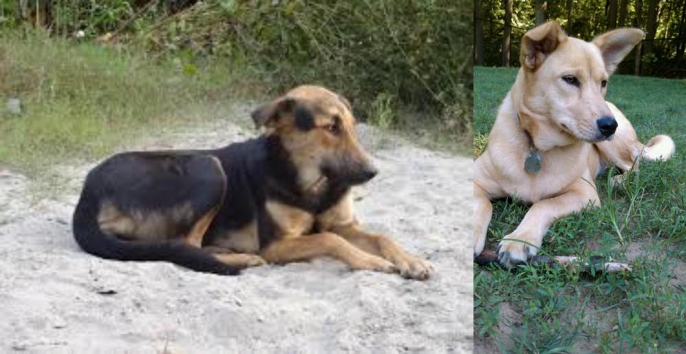 Indian Pariah Dog vs Carolina Dog