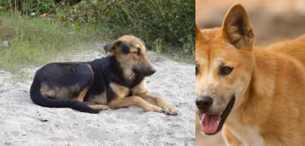 Indian Pariah Dog vs Dingo