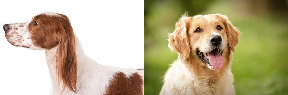 Irish Red and White Setter vs Golden Retriever
