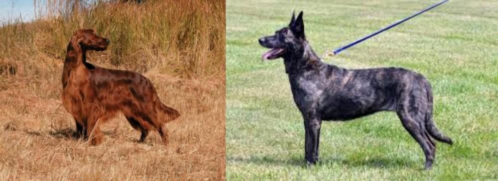 Irish Setter vs Dutch Shepherd
