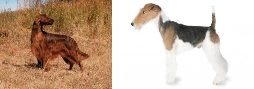 Irish Setter vs Fox Terrier