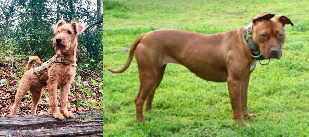 Irish Terrier vs American Pit Bull Terrier