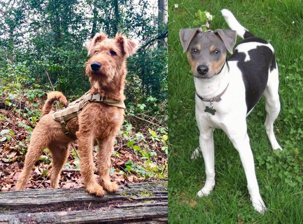 Irish Terrier vs Brazilian Terrier