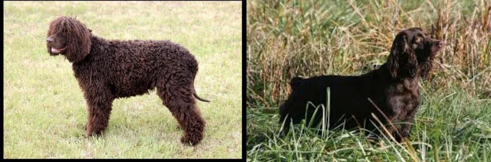 Irish Water Spaniel vs Boykin Spaniel