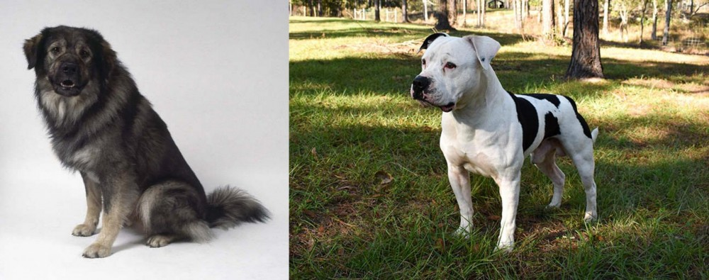 Istrian Sheepdog vs American Bulldog