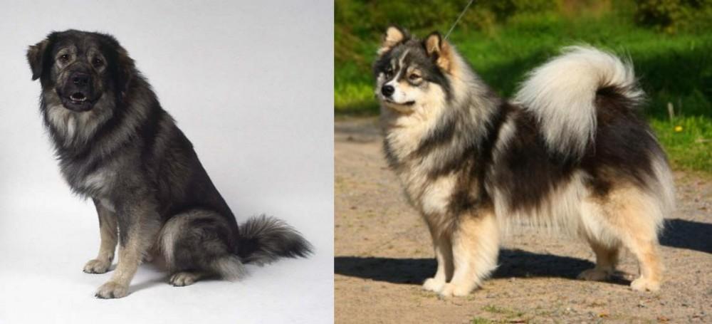 Istrian Sheepdog vs Finnish Lapphund