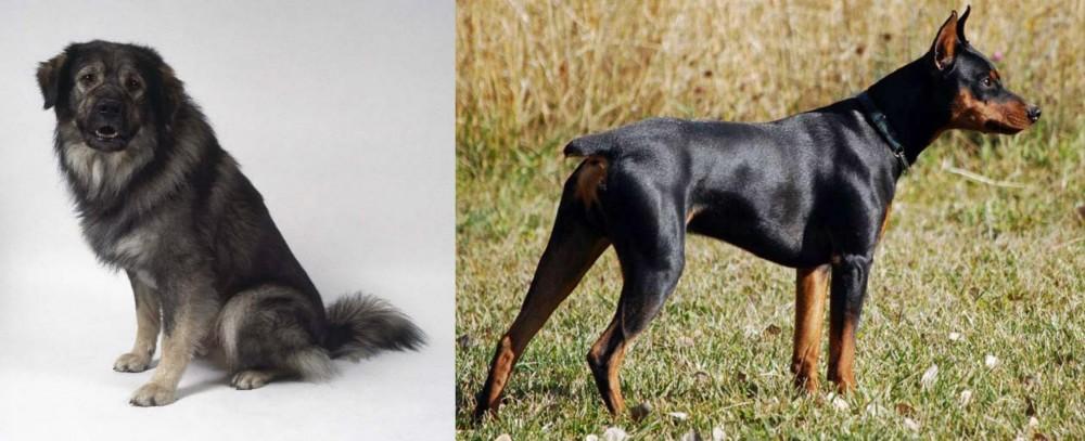 Istrian Sheepdog vs German Pinscher