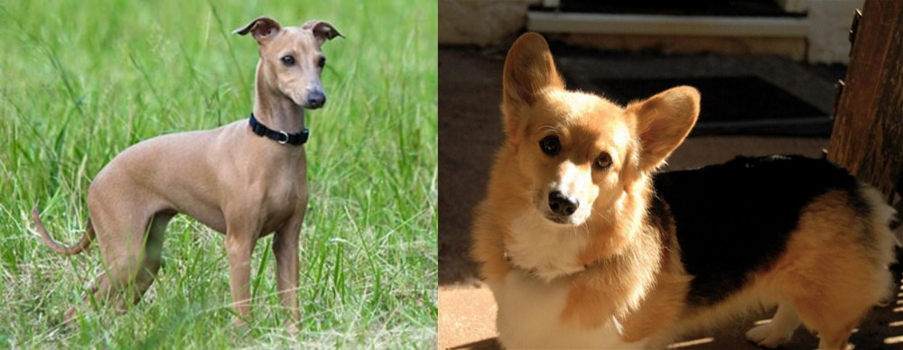 Italian Greyhound vs Dorgi
