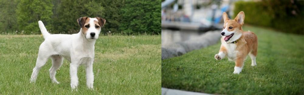 Jack Russell Terrier vs Corgi