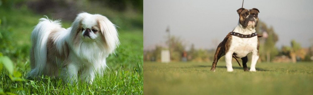 Japanese Chin vs Bantam Bulldog