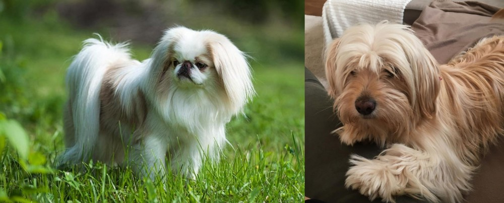 Japanese Chin vs Cyprus Poodle