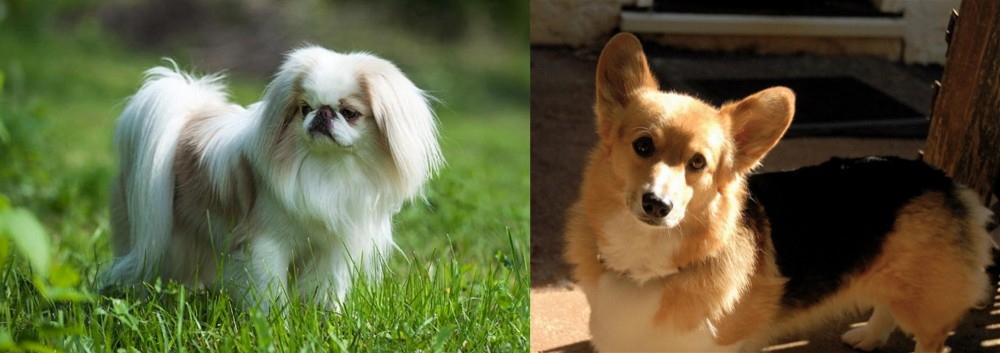 Japanese Chin vs Dorgi