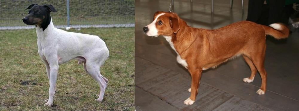 Japanese Terrier vs Austrian Pinscher