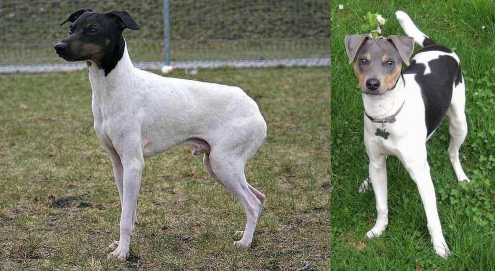 Japanese Terrier vs Brazilian Terrier