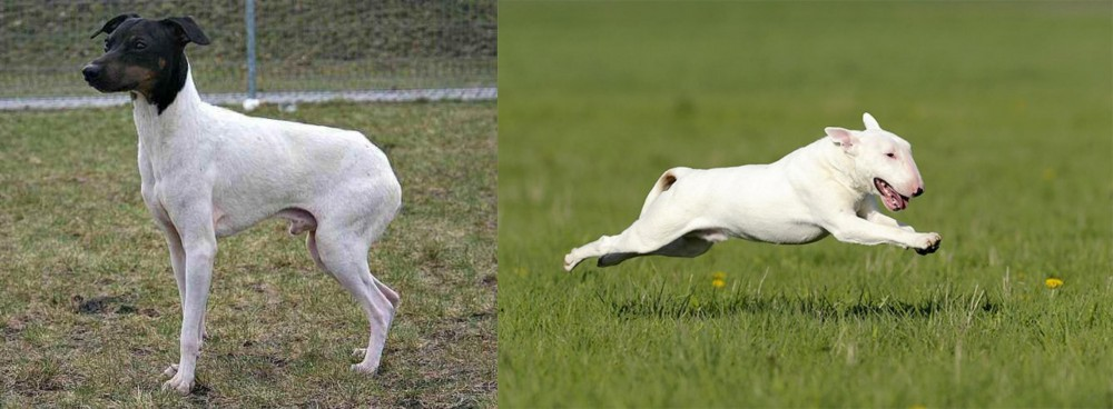 Japanese Terrier vs Bull Terrier