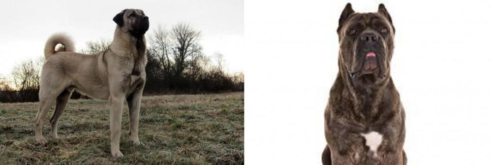 Kangal Dog vs Cane Corso - Breed Comparison | MyDogBreeds