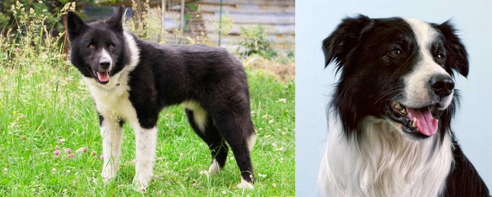 Karelian Bear Dog vs Border Collie