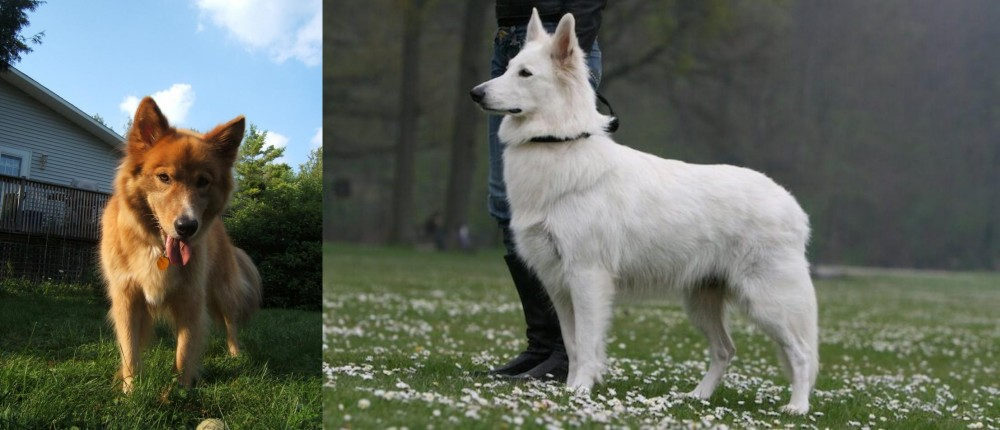 Karelo-Finnish Laika vs Berger Blanc Suisse