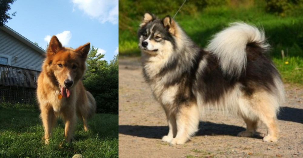 Karelo-Finnish Laika vs Finnish Lapphund
