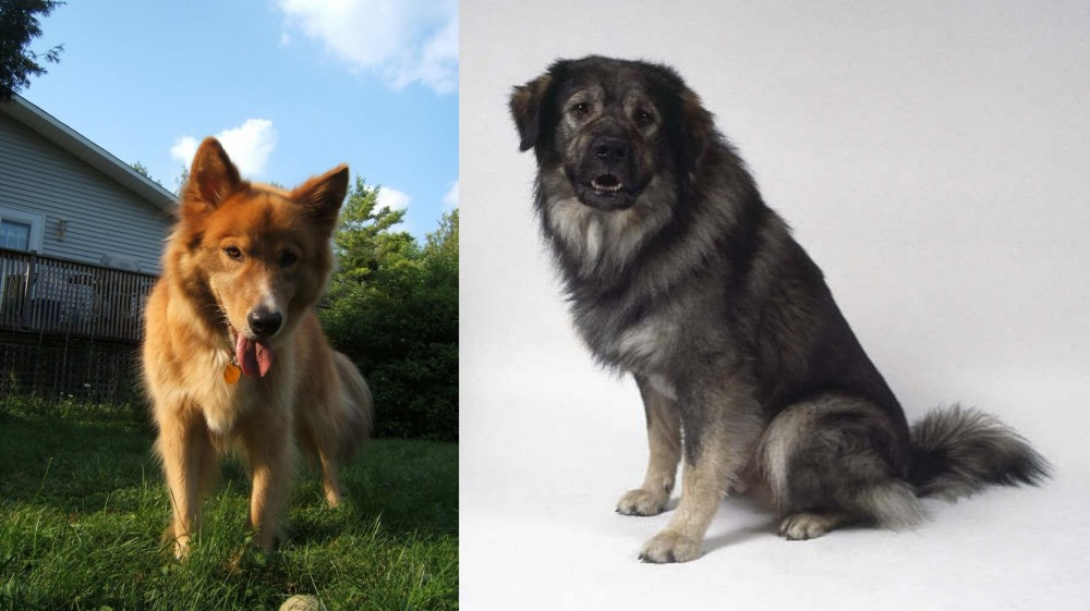 Karelo-Finnish Laika vs Istrian Sheepdog
