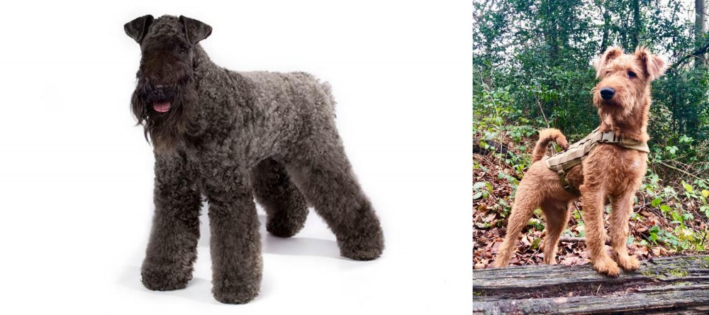 Kerry Blue Terrier vs Irish Terrier