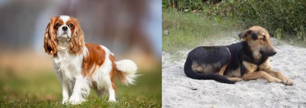 King Charles Spaniel vs Indian Pariah Dog