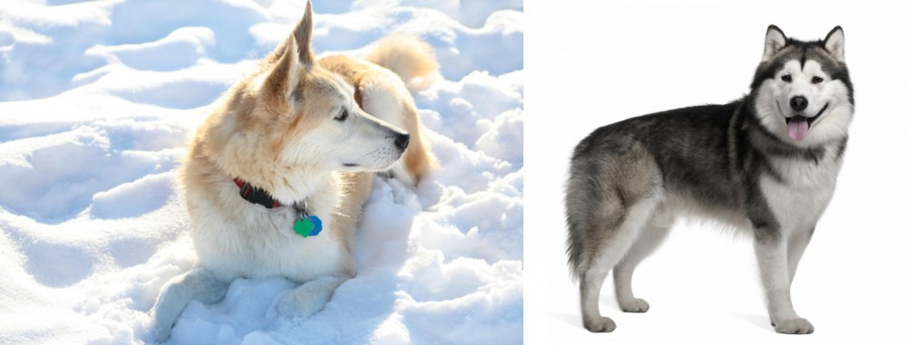 Labrador Husky vs Alaskan Malamute
