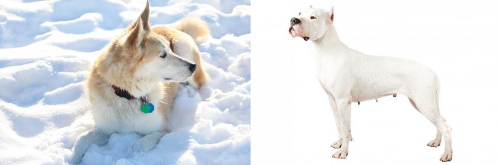 Labrador Husky vs Argentine Dogo