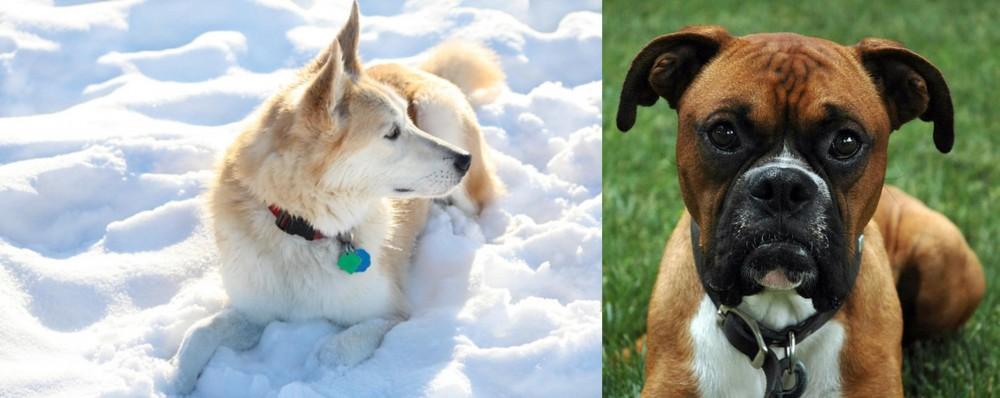 Labrador Husky vs Boxer