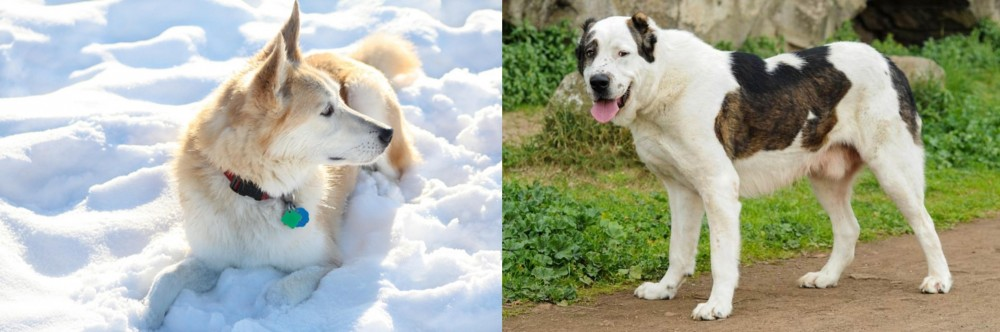 Labrador Husky vs Central Asian Shepherd