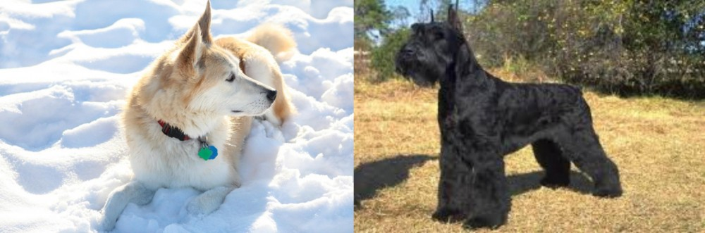 Labrador Husky vs Giant Schnauzer