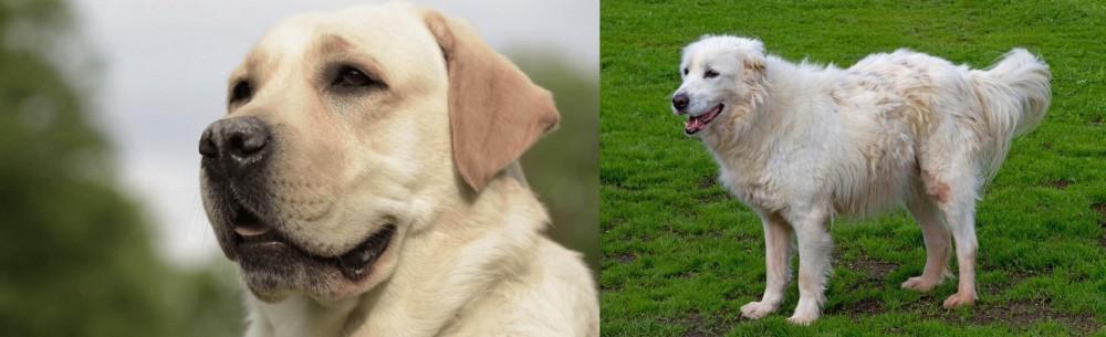 Abruzzenhund vs Labrador Retriever