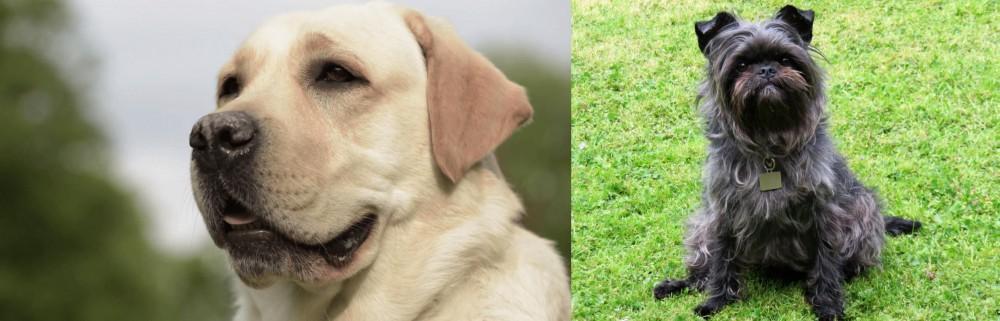 Affenpinscher vs Labrador Retriever