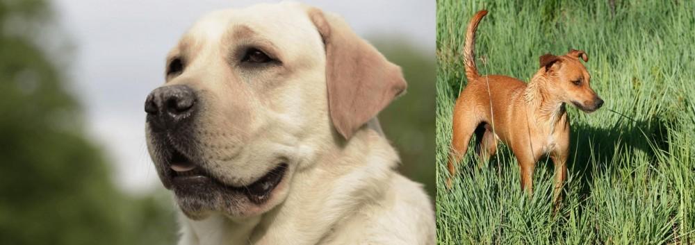 Africanis vs Labrador Retriever