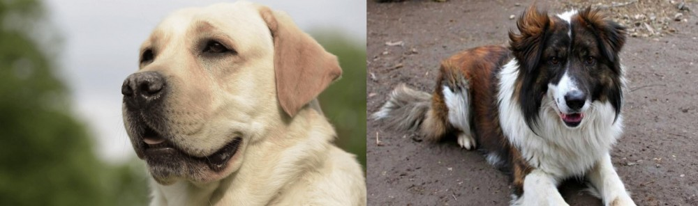 Aidi vs Labrador Retriever