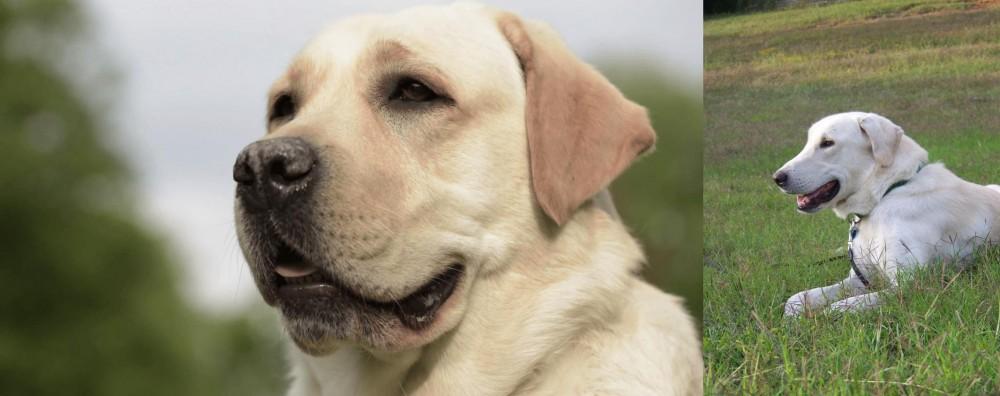 Akbash Dog vs Labrador Retriever