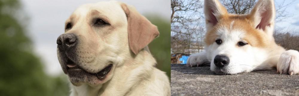 Akita vs Labrador Retriever
