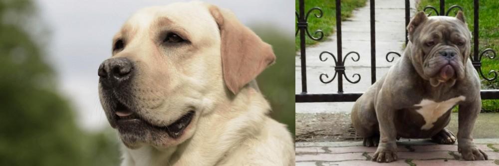 American Bully vs Labrador Retriever